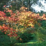 Acer palmatum Dissectum in the Monk's Walk
