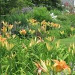 Border with Hemerocallis (Day Lilies)