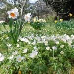 anemones1